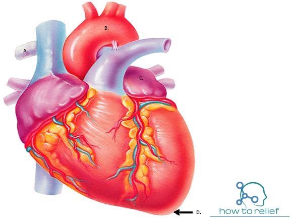 Heart Anatomy : Cardiac Chamber,Arterial Supply & Function ...