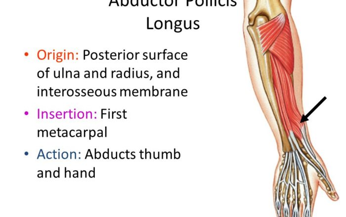 Abductor-Pollicis-Longus-muscle