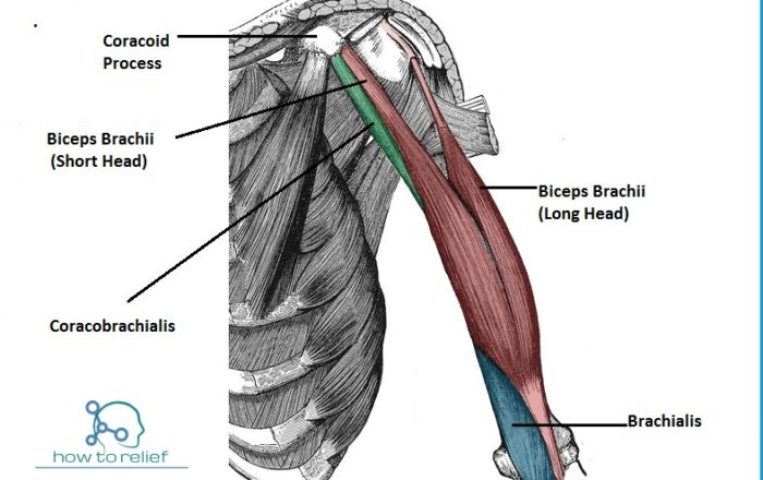 Brachialis-Muscles