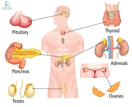 Endocrine System Function Diseases Of The Endocrine System How