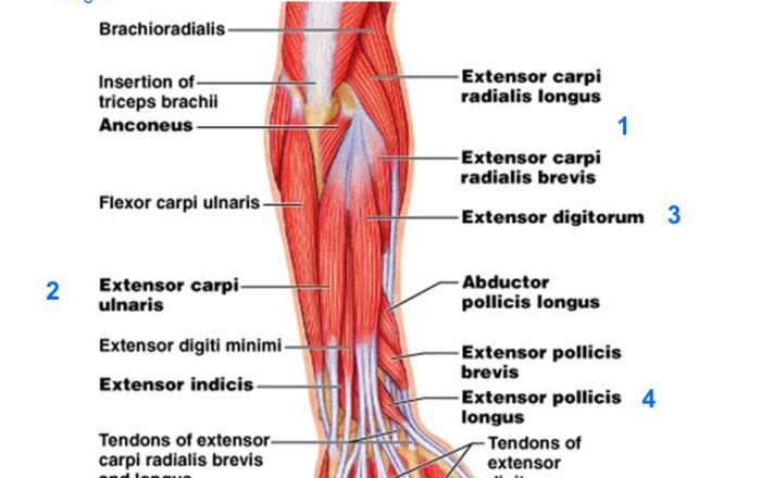 Extensor Carpi Radialis Longus and Brevis