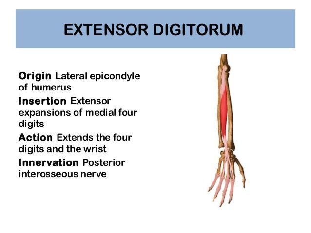 extensor digitorum origin insertion nerve supply