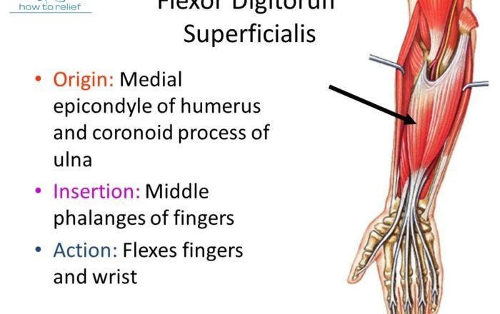 Flexor-Digitorum-Superficialis