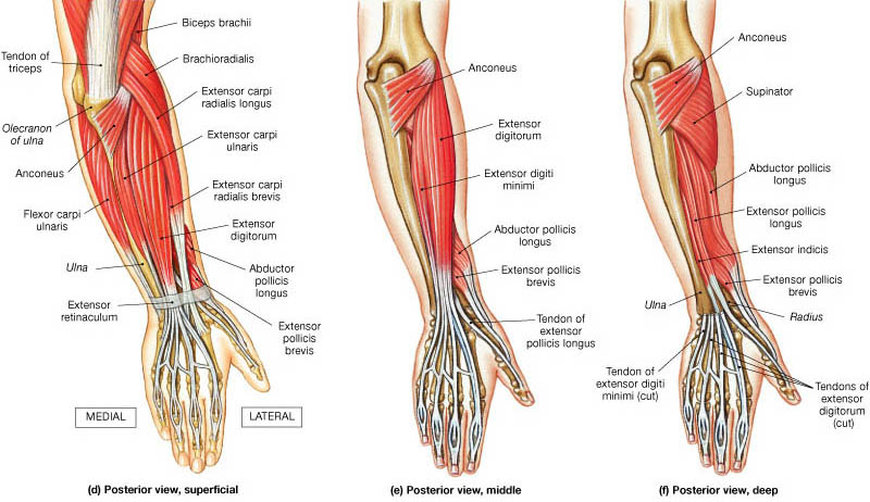 Forearm Muscles Origin Insertion Nerve Supply Action How To