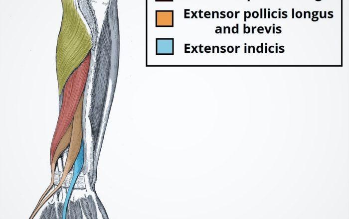 Extensor Indicis Proprius