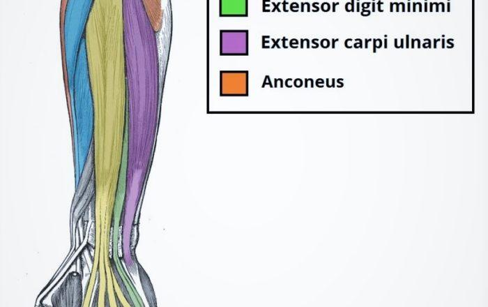Extensor Carpi Radialis Longus and Brevis