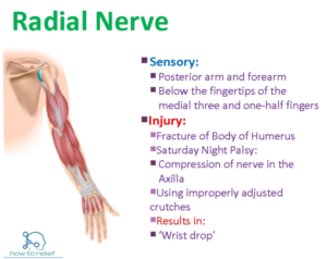 Radial Nerve Course Motor Sensory Amp Common Injuries 187 How