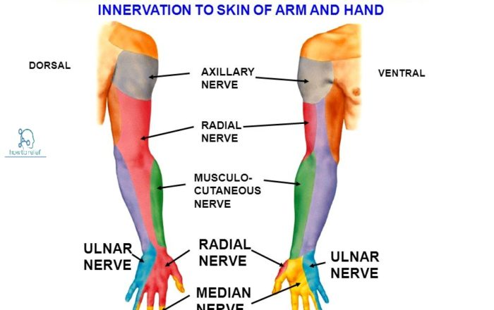 Sensory Supply of the Median Nerve