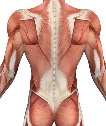Human anatomy from the back