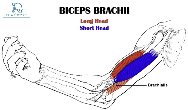 biceps-brachii-muscle