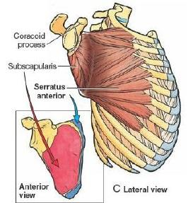 serratus_anterior_muscle