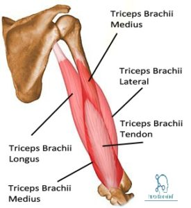 triceps brachii: origin, insertion, nerve supply & action » how to, Sphenoid