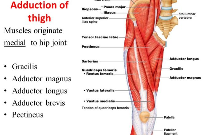 adductor of thigh muscles