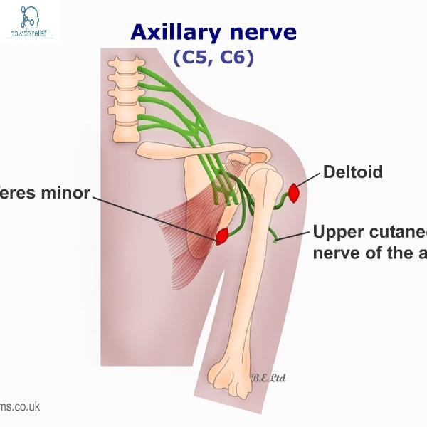 Axillary Nervecoursemotorsensory Common Injuries How To Relief