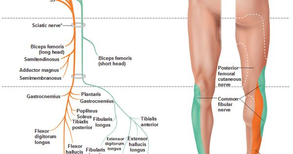 Sciatic Nerve Course