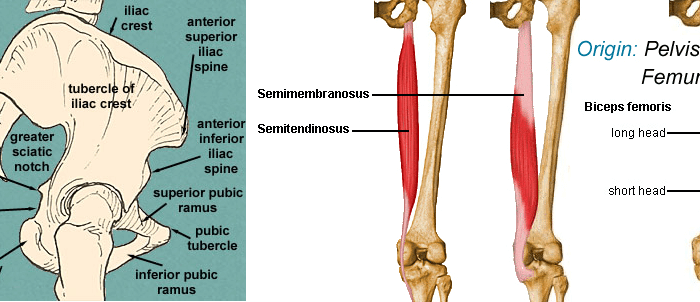 biceps femoris Origin-Insertion