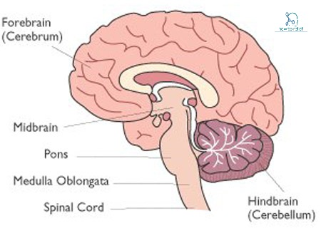 medulla - definition,anatomy, location & function » how to relief, Human Body