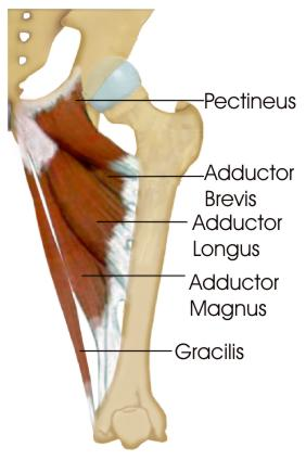 adductor muscles