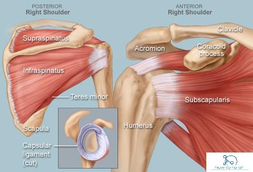 shoulder mcq