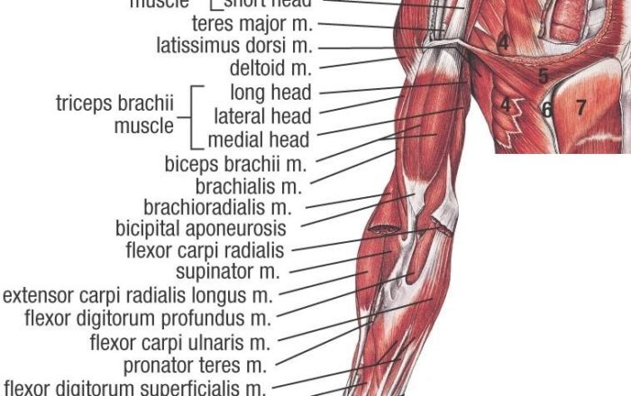 upper limb muscles