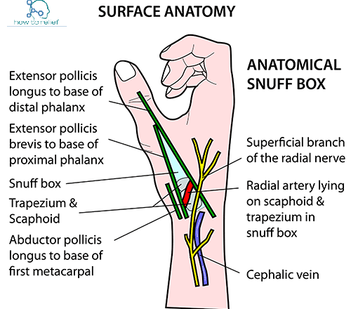 Anatomical snuffbox content
