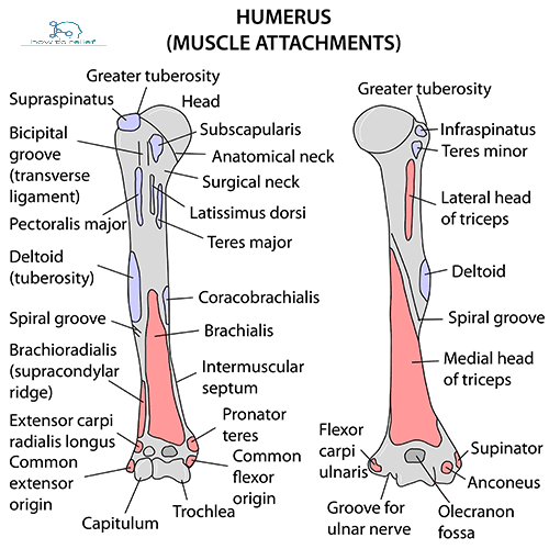 Greater Tubercle Of Humerus Muscles That Attach | www ...