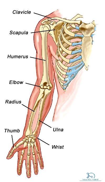 Bones arm anatomy