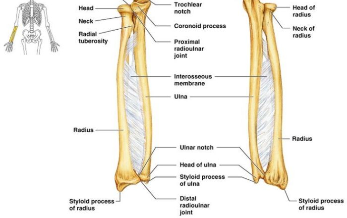 anatomy of the radius & ulna