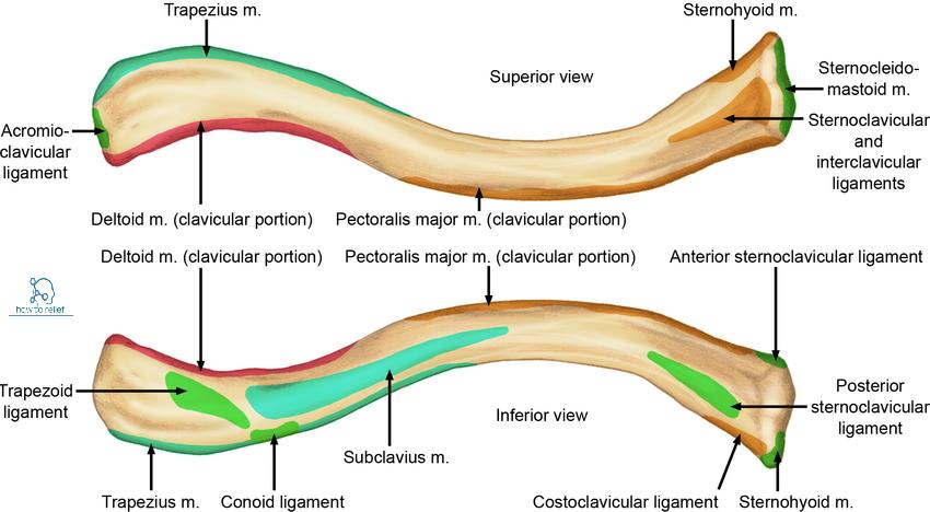 Anatomy of the collarbone