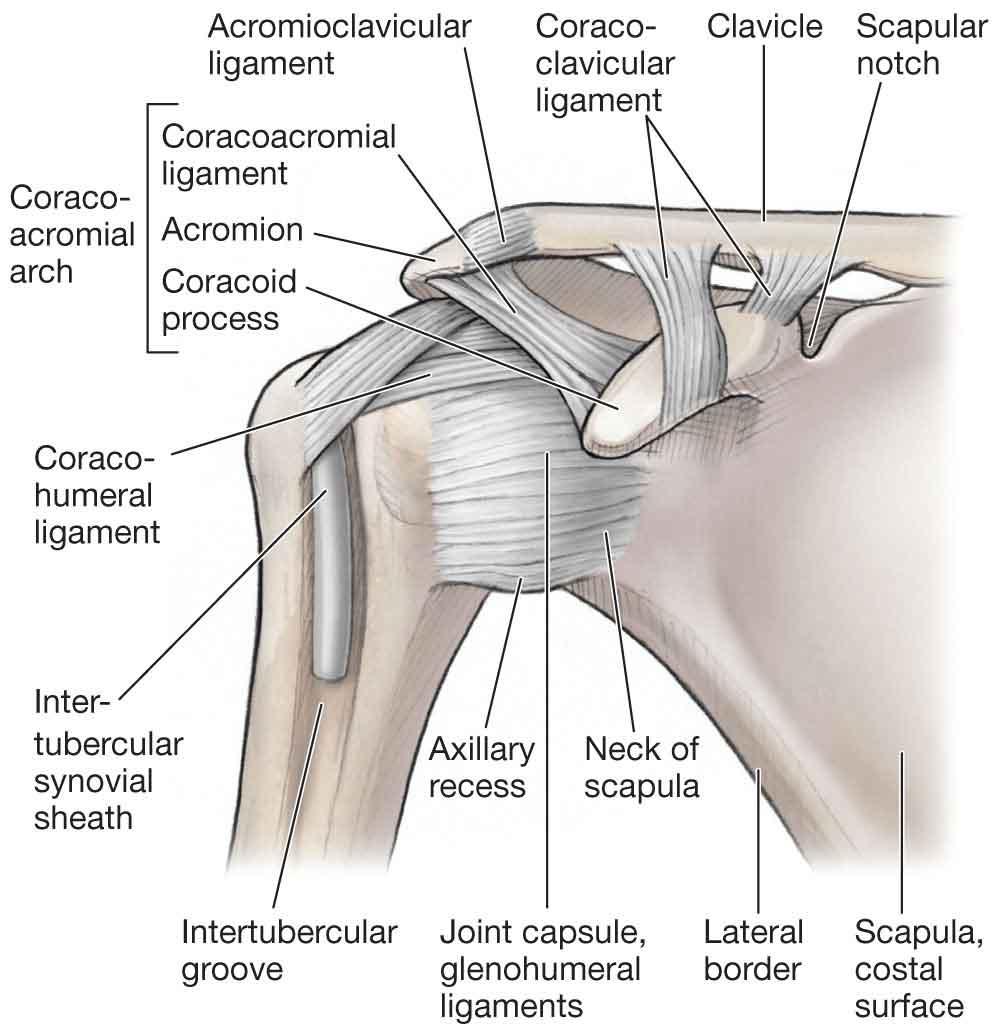 Shoulder ligament diagram