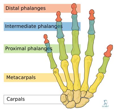 phalanges bones