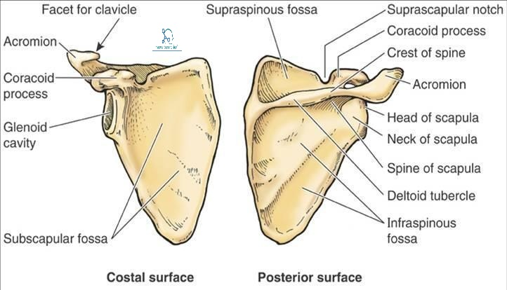 Scapula Anatomybony Landmarks Muscle Attachment How To Relief