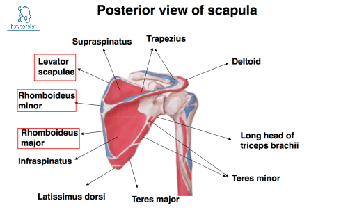 scapular posterior muscle attachment