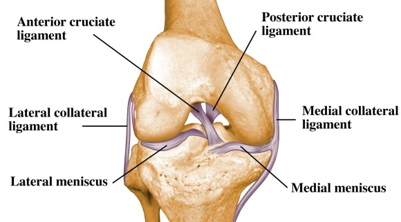 Ligaments of the Knee Joint