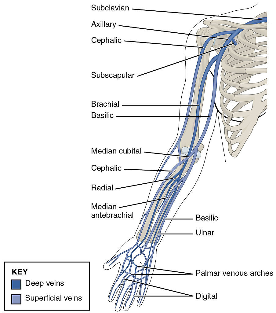Veins of the Upper Limb