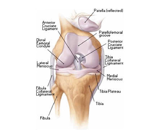 Knee Jointanatomymovement Muscle Involvement How To Relief