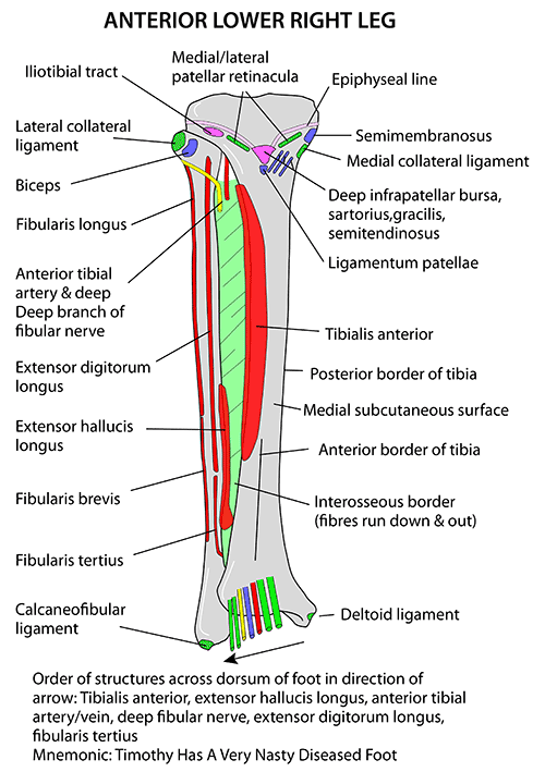 anterior muscle attachment of leg