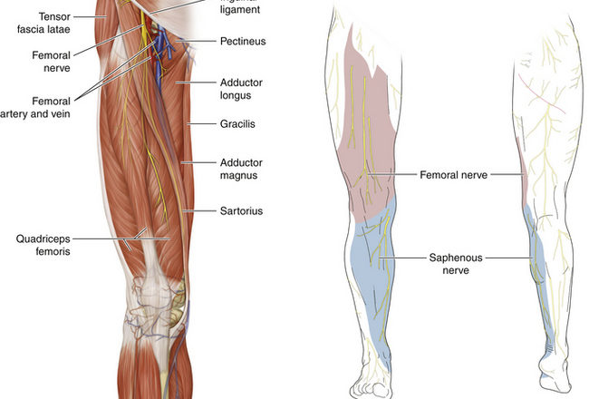femoral nerve