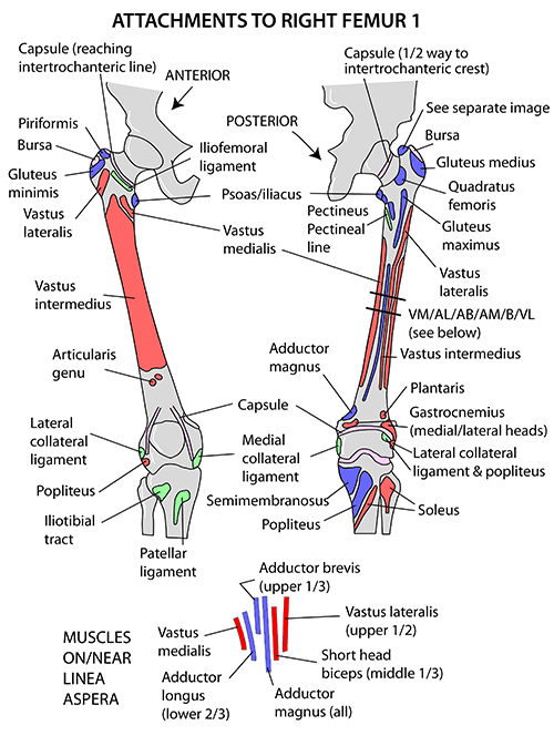 muscle attachment of femur