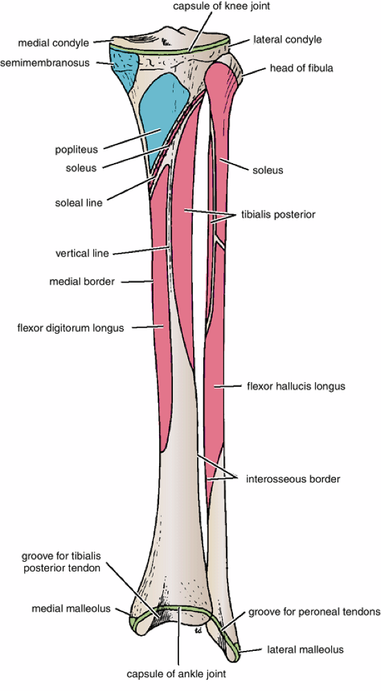 Tibia Anatomy: Bony Landmarks & Muscle Attachment » How To ...