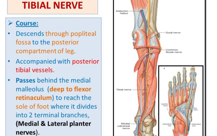 Anatomical Course of the Tibial Nerve