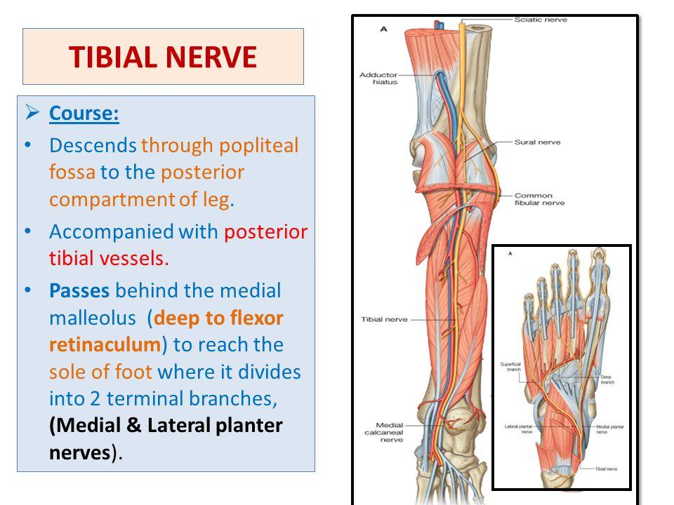 Sural sensory nerves - Maple suyrup diet