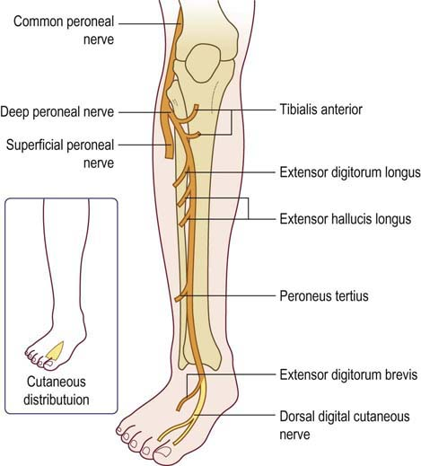 Common Fibular Nerve:Course,Motor & Sensory Innervation ...