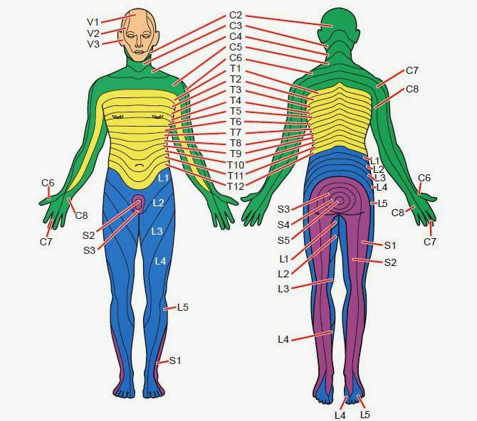 Dermatomes And Myotomes Upper Lower Limb How To Relief
