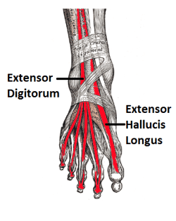 Extensor Hallucis Longus