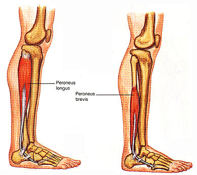 Leg Muscles:Origin, Insertion, Action & Nerve Supply » How ...