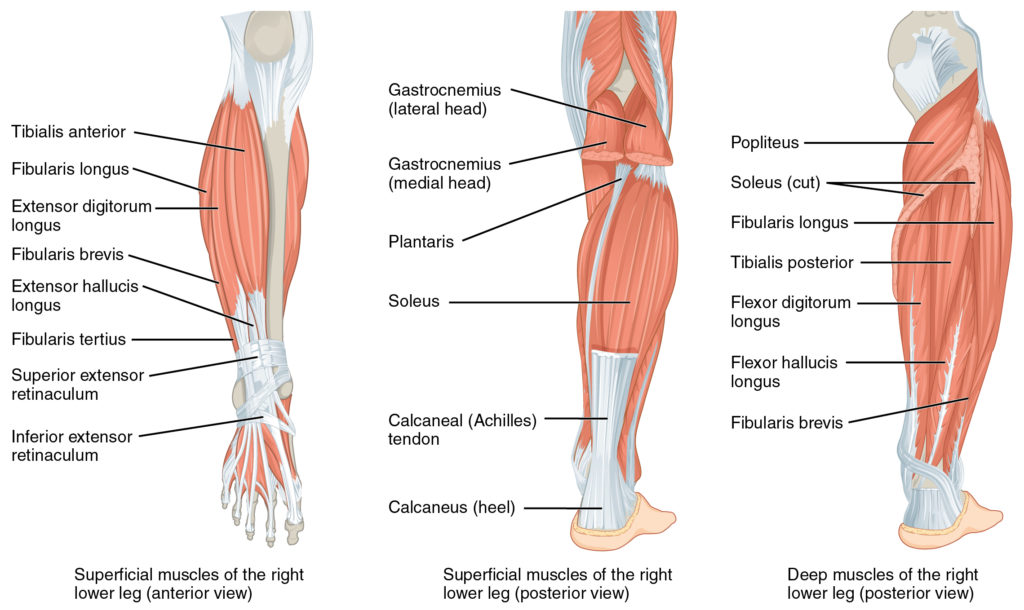 Leg Musclesorigin Insertion Action Nerve Supply How To Relief
