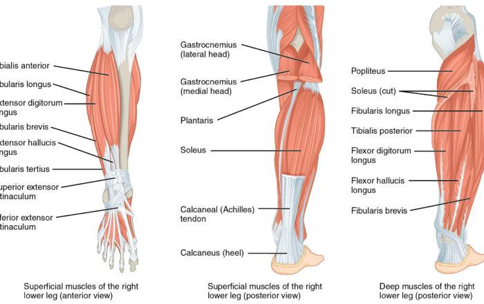 leg muscles anatomy