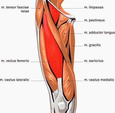 sartorius, pectineus, and quadriceps femoris