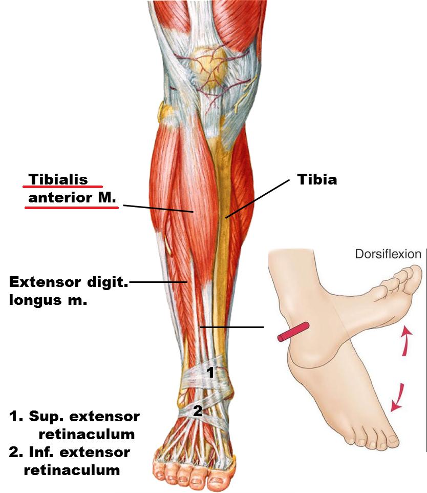 Anterior Anatomy Definition Images - human body anatomy